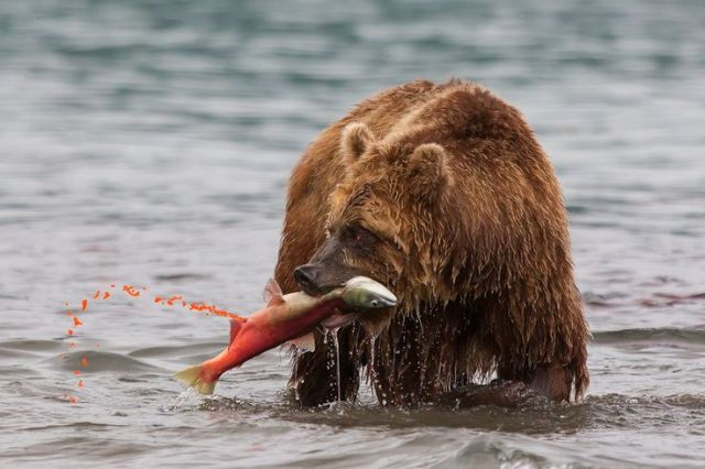 Bear catches a of spawning salmon in the Kuril Lake.