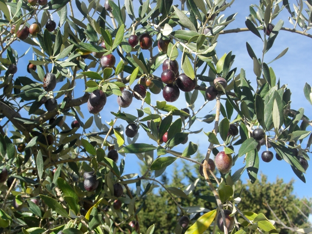 Castelas-olives-on-tree